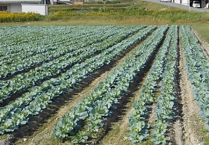 20131013営農キャベツ